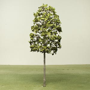 Model Indian Laurel Fig