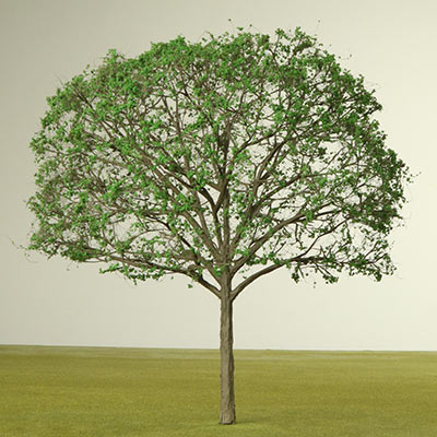 Model English Walnut tree