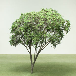 White sandlewood magnolia model tree