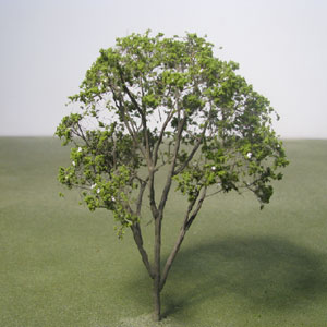 False Acacia / Black Locust